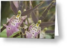 Beautiful Mtssa. Shelob 'tolkien' - Orchids - Mericlone  Greeting Card by Sharon Mau