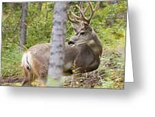 Beautiful Mule Deer Buck With Velvet Antler  Greeting Card