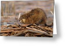 Beautiful Muskrat Greeting Card by James Peterson