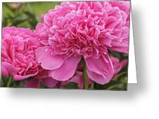 Beautiful Pink Peony Albert Crousse Paeonia Lactifora Albert Cro Greeting Card
