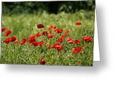 Beautiful Poppies 3 Greeting Card