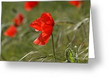Beautiful Poppies 5 Greeting Card