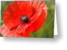 Beautiful Poppies 6 Greeting Card