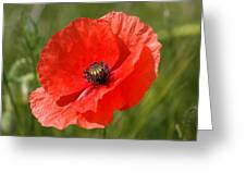 Beautiful Poppies 7 Greeting Card