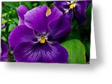 Beautiful Purple Pansies Greeting Card