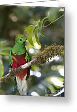 Beautiful Quetzal 1 Greeting Card