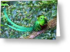 Beautiful Quetzal 3 Greeting Card
