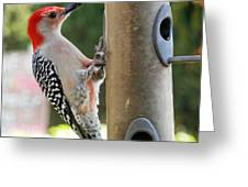 Beautiful Red Belly Woodpecker Jr Greeting Card