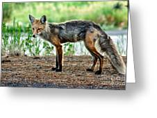 Beautiful Red Fox Greeting Card