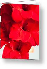 Beautiful Red Gladiolus Greeting Card