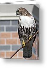 Beautiful Red-tail Greeting Card