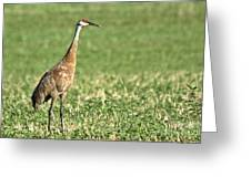 Beautiful Sandhill Crane Greeting Card