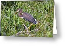 Beautiful Tricolored Heron Greeting Card