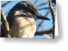 Beautiful Western Scrub Jay Greeting Card