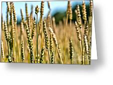 Beautiful Wheat Greeting Card