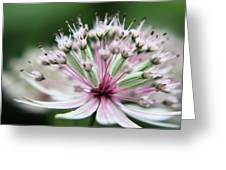 Beautiful White And Pink Buds Greeting Card
