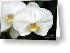Beautiful White Phanaenopsis Orchids Greeting Card