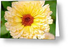 Beautiful Yellow Marigold Goldbloom Close Up  Greeting Card
