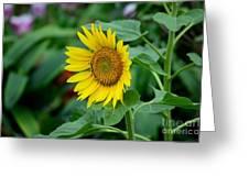 Beautiful Yellow Sunflower In Full Bloom Greeting Card