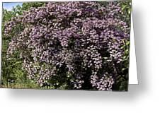 Beauty Bush (kolkwitzia Amabilis) Greeting Card