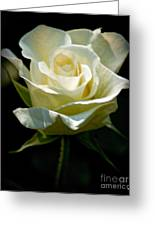 Beauty  Of A Rose Greeting Card