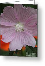 Beauty Of The Hollyhock  Greeting Card