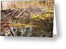 Beaver Dam In Fall Colored Forest Wetland Swamp Greeting Card