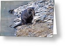 Beaver Sharpens Stick Greeting Card