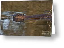 Beaver Swimming Greeting Card