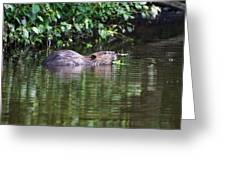beaver swims in NC lake Greeting Card