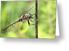 Beaverpond Baskettail Dragonfly Greeting Card