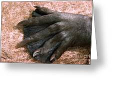 Beavers Hind Foot Greeting Card