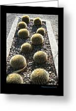 Bed Of Barrel Cacti  Greeting Card