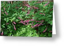 Bed Of Bleeding Hearts Greeting Card