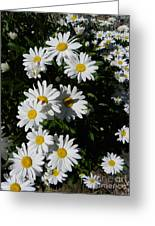 Bed Of Daisies Greeting Card