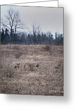 Bedded Whitetail Deer Greeting Card