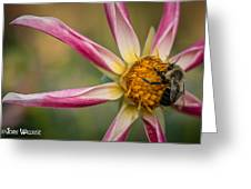 Bee Enjoying A Willie Willie Dahlia Greeting Card