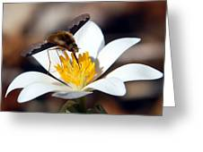Bee Fly And Bloodroot Greeting Card