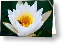 Bee In A Lily  Greeting Card