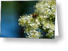Bee On A Rowan Flower - Featured 3 Greeting Card