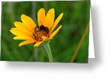 Bee On A Smooth Oxeye Greeting Card