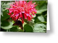 Bee On Bee Balm Flower Greeting Card