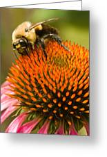 Bee On Coneflower Greeting Card