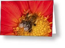 Bee On Dahlia - 2 Greeting Card