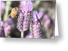 Bee On Lavender Square Greeting Card