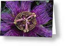 Bee On Passion Flower Brazil Greeting Card by Pete Oxford