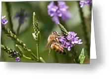 Bee On Purple Loosestrife  Greeting Card