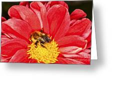 Bee On Red Dahlia Greeting Card