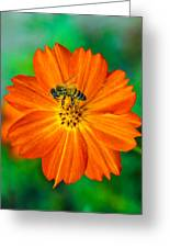 Bee On The Orange Cosmos 2 Greeting Card
