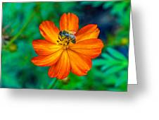 Bee On The Orange Cosmos Greeting Card